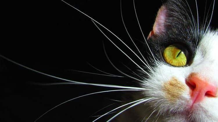 ¿Para qué sirven los bigotes en perros y gatos?