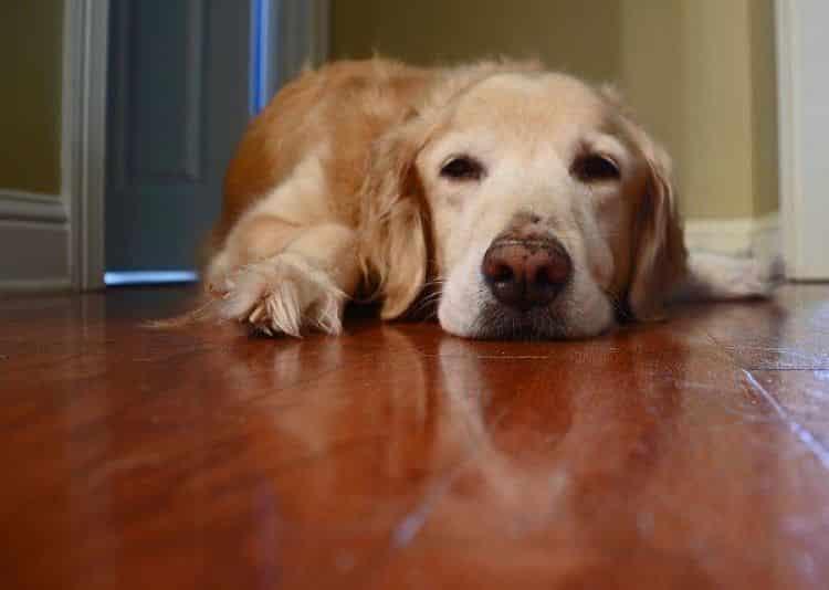 or-qué-los-perros-vomitan-amarillo1