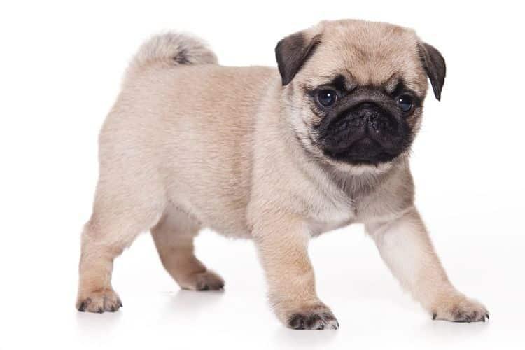 Cachorro de Pug
