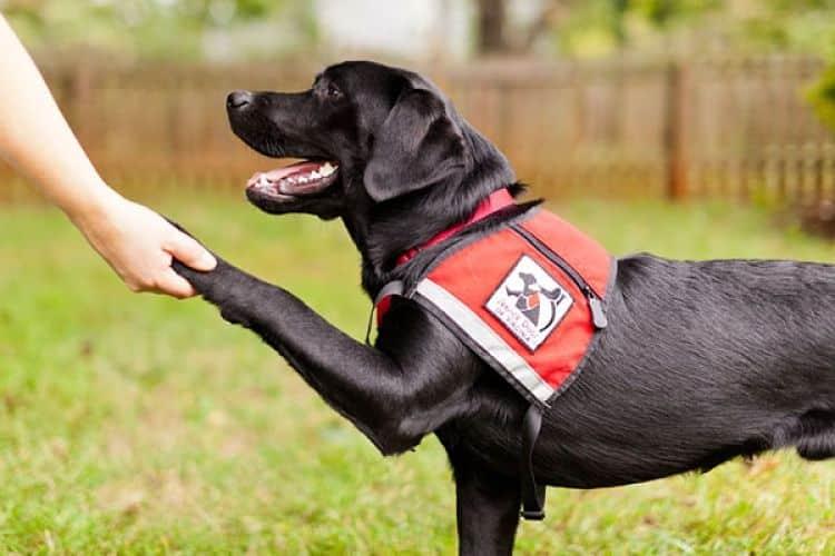 Los perros de servicio son una excelente opción para las personas con necesidades especiales