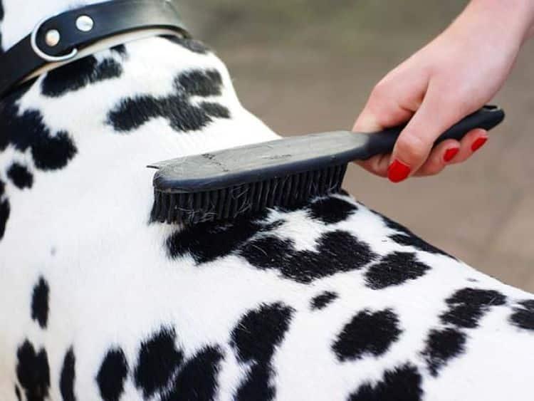 Un cepillo suave funciona bien para los perros de pelo corto