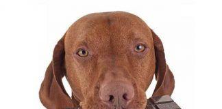 Peligro del chocolate en los perros