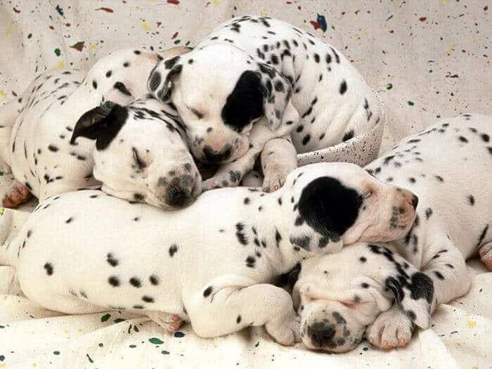que es el pedigree en perros