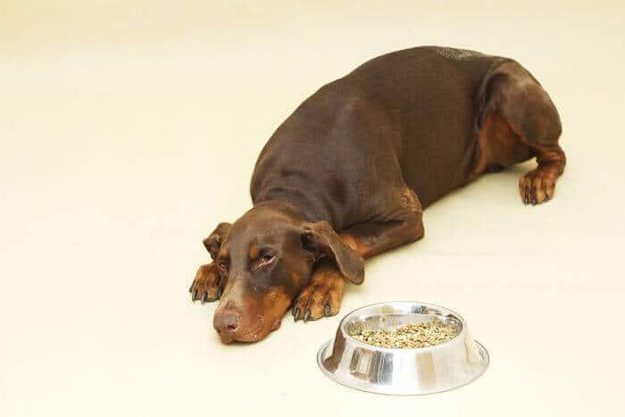 que hacer si mi perro no quiere comer