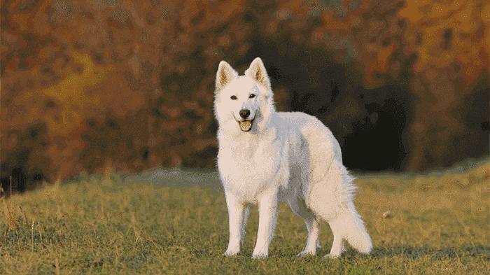 raza de perros Pastor Blanco Suizo