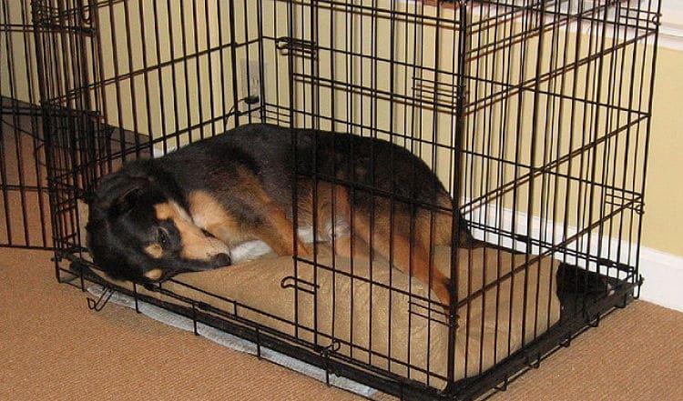 Cómo educar a un perro adulto en casa