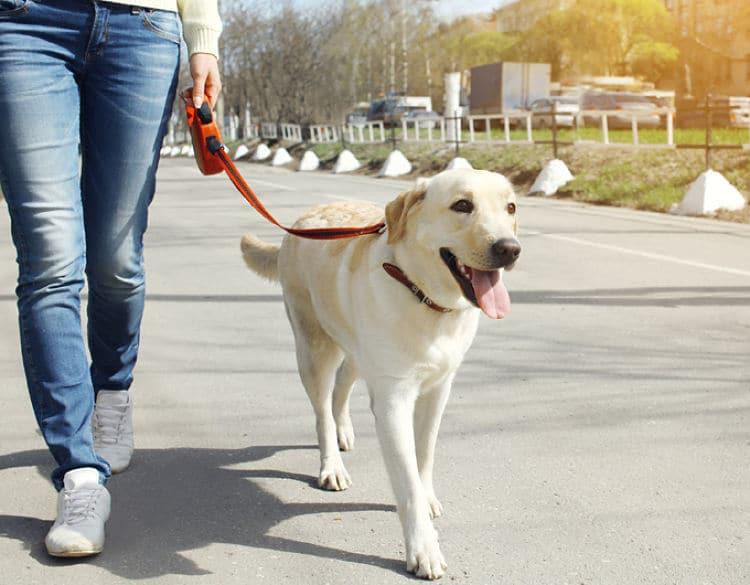 Cómo educar a tu perro adulto a usar una correa