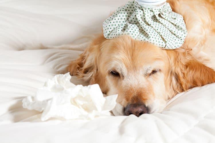 Las toxinas en el ambiente, la comida y el agua pueden afectar a nuestro perro