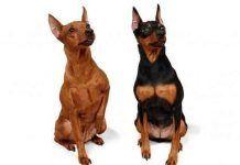 Perros Pinscher Miniatura