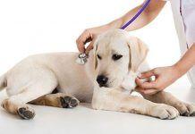 Por qué vomitan sangre los perros