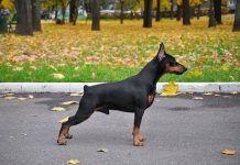 perro pinscher miniatura