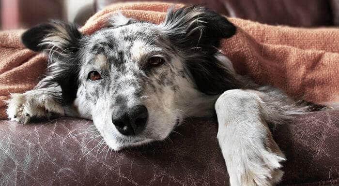 causas del envenenamiento en perros