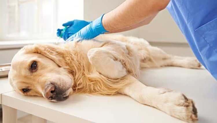 El diagnóstico oportuno es importante para mejorar las oportunidades del perro