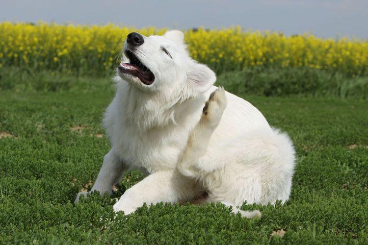 Otitis-Canina-4