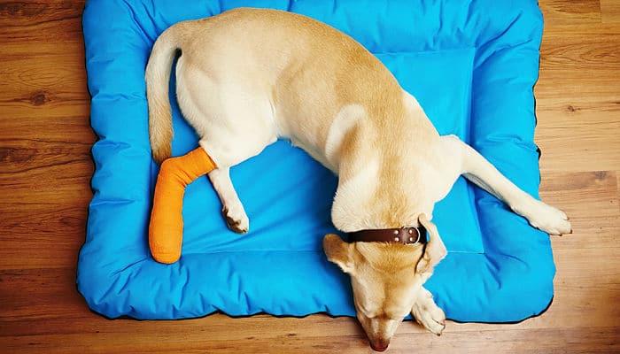 fracturas-en-perros-1