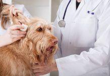 remedios caseros para la otitis canina