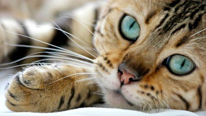Enfermedades mas comunes en gatos