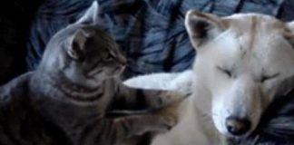 Porque amasan los gatos