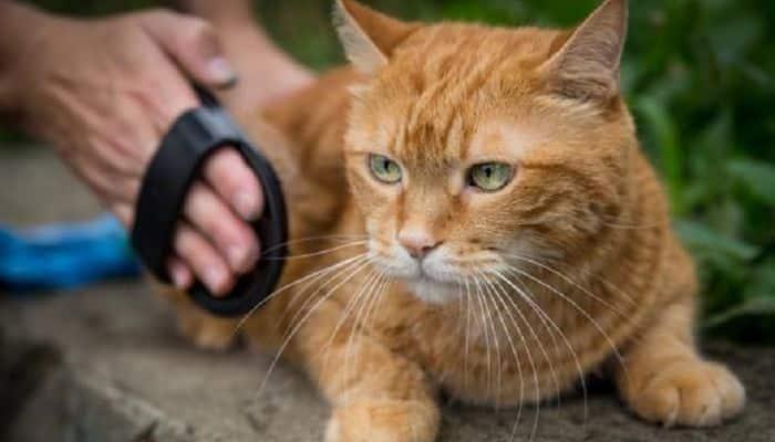 Las bolas de pelos en los gatos