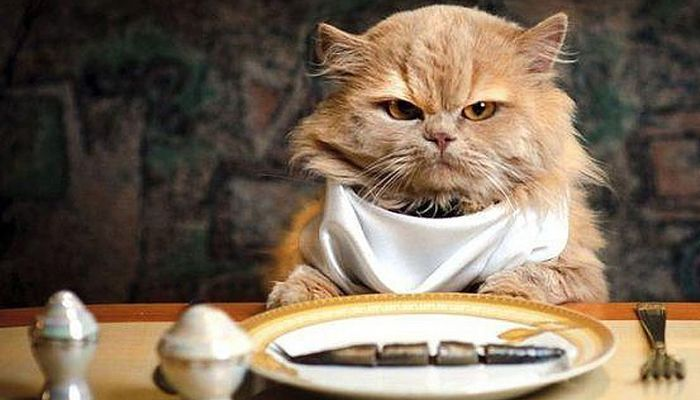 como alimentasr a mi gat