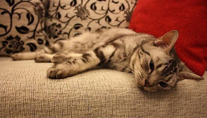 los gatos y las enfermedades más comunes