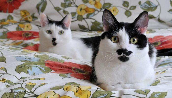 gatos bobtail japonés