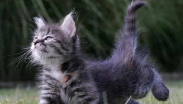 los movimientos de la cola de los gatos