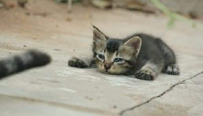 el moquillo del gato