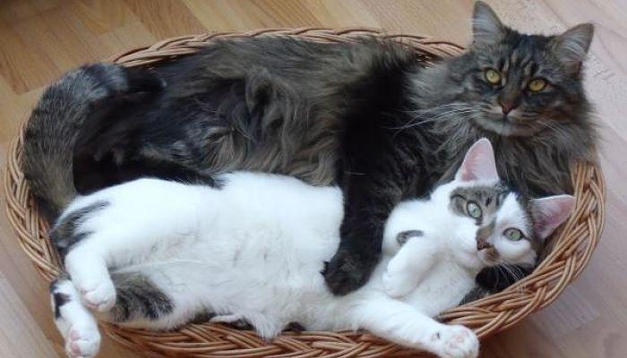 la parvovirus en gatos