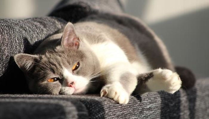 gatos con parvovirus