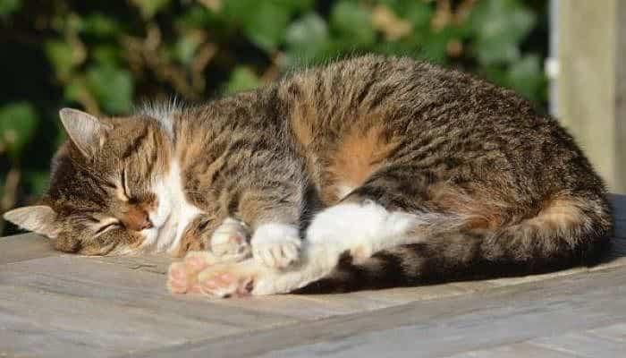la parvovirus y los gatos