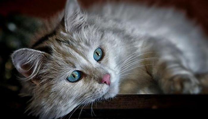 parvovirus en gatos