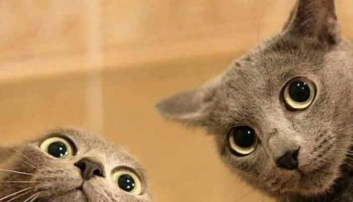 que colores ven los gatos