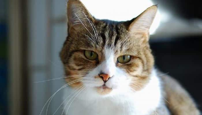 la rabia en gatos