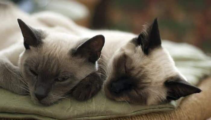 los gatos y el sida