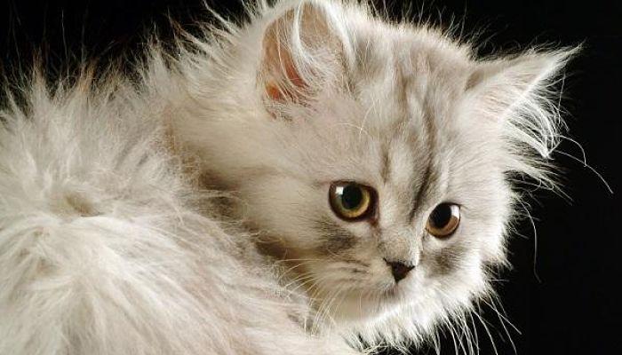 gato con sida