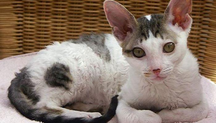 tiña-en-gatos1_opt