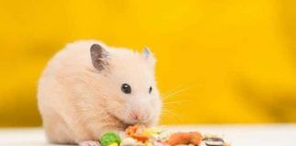 Qué alimentos comen los hámster