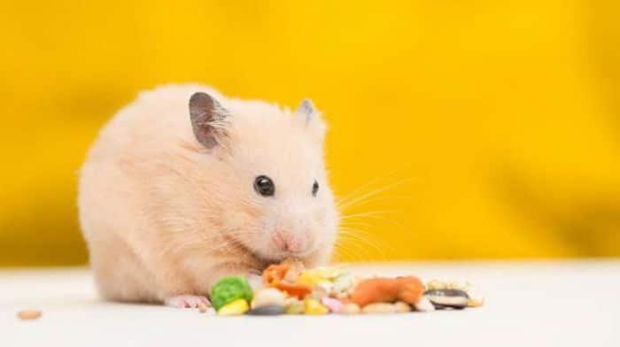 Qué-alimentos-comen-los-hámster-1