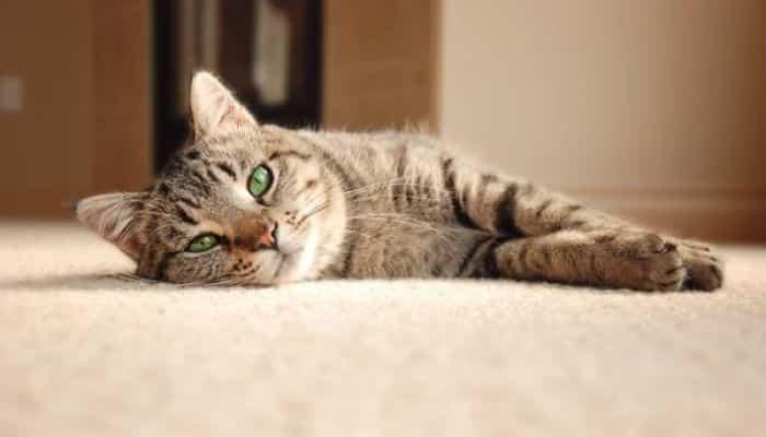 el celo en gatos