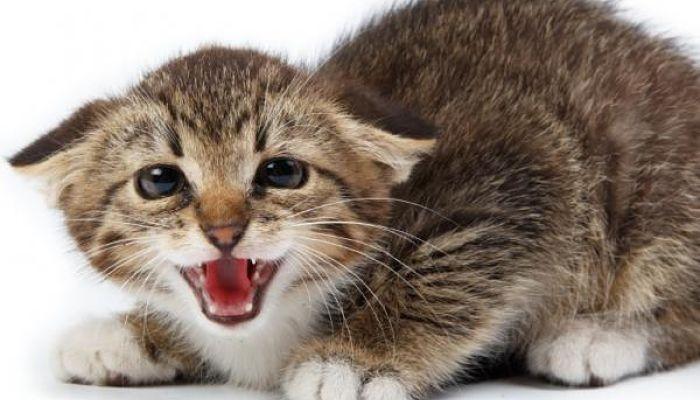 el gato y el celo