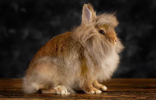 cuantas-razas-de-conejos-hay-2
