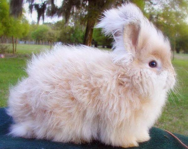 cuantas-razas-de-conejos-hay-7