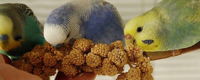 que-alimentos-comen-los-periquitos-australianos-2