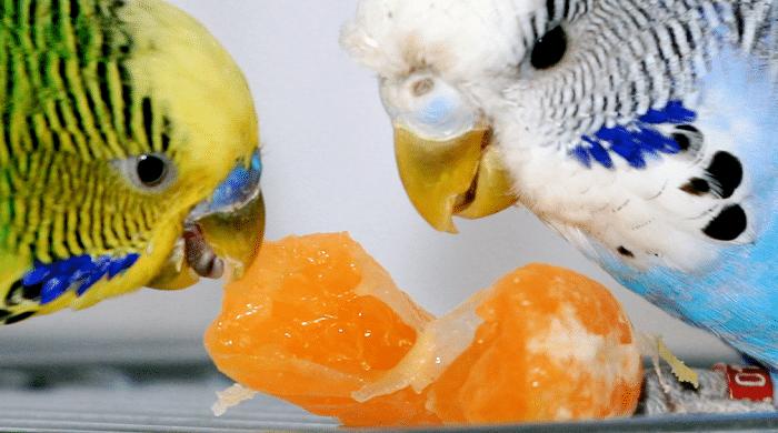 que-alimentos-comen-los-periquitos-australianos-3