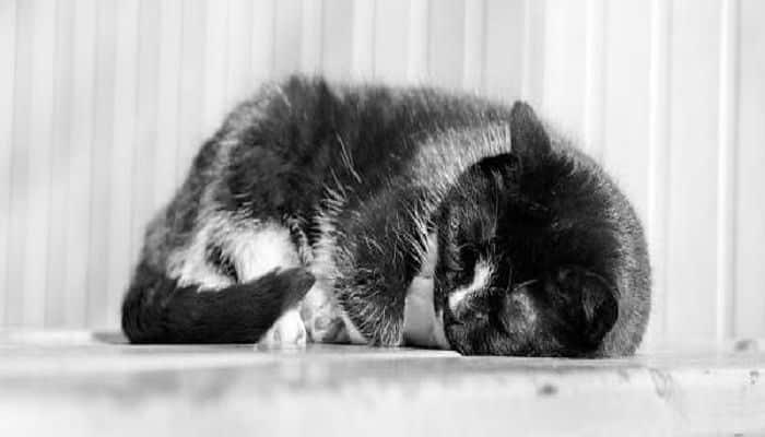 el vómito en los gatos