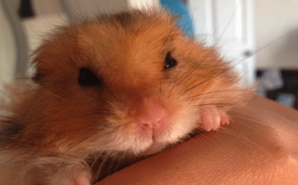 enfermedades-de-los-hamsters-3