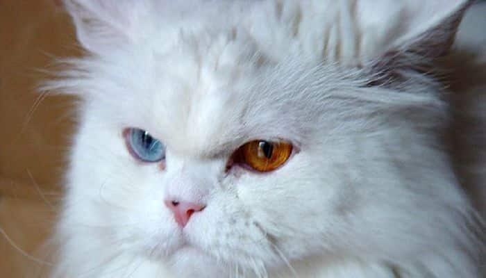 heterocromía en gatos