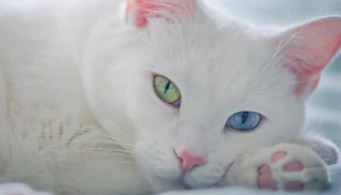 la ivermectina en los gatos