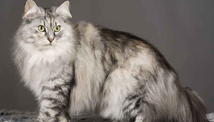 razas de gatos bosque de noruega